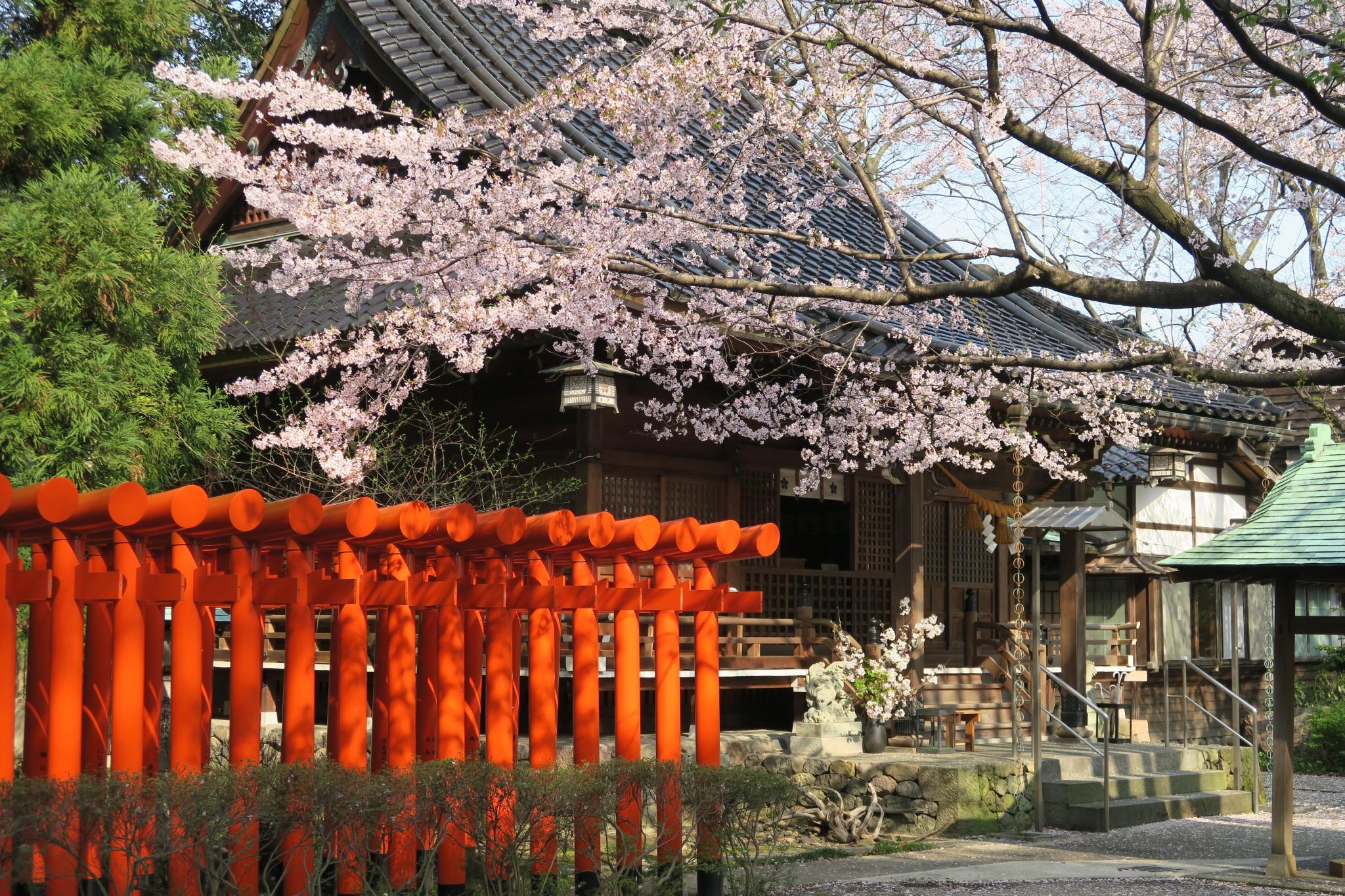 平成29年 桜咲き誇る境内と拝殿